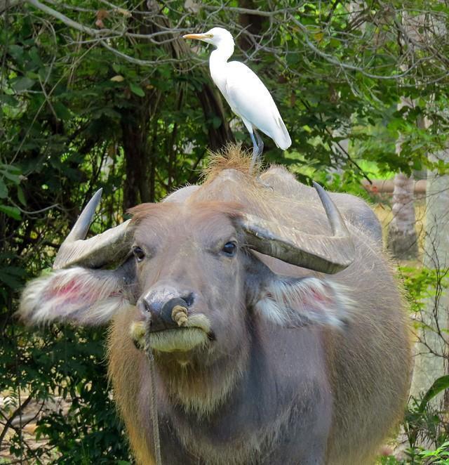 buffalo-bird-thumb.
