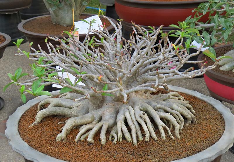 chiang-mai-bonsai-1-small.