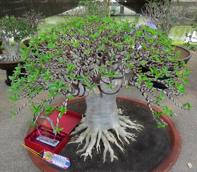 chiang-mai-bonsai-2-small.