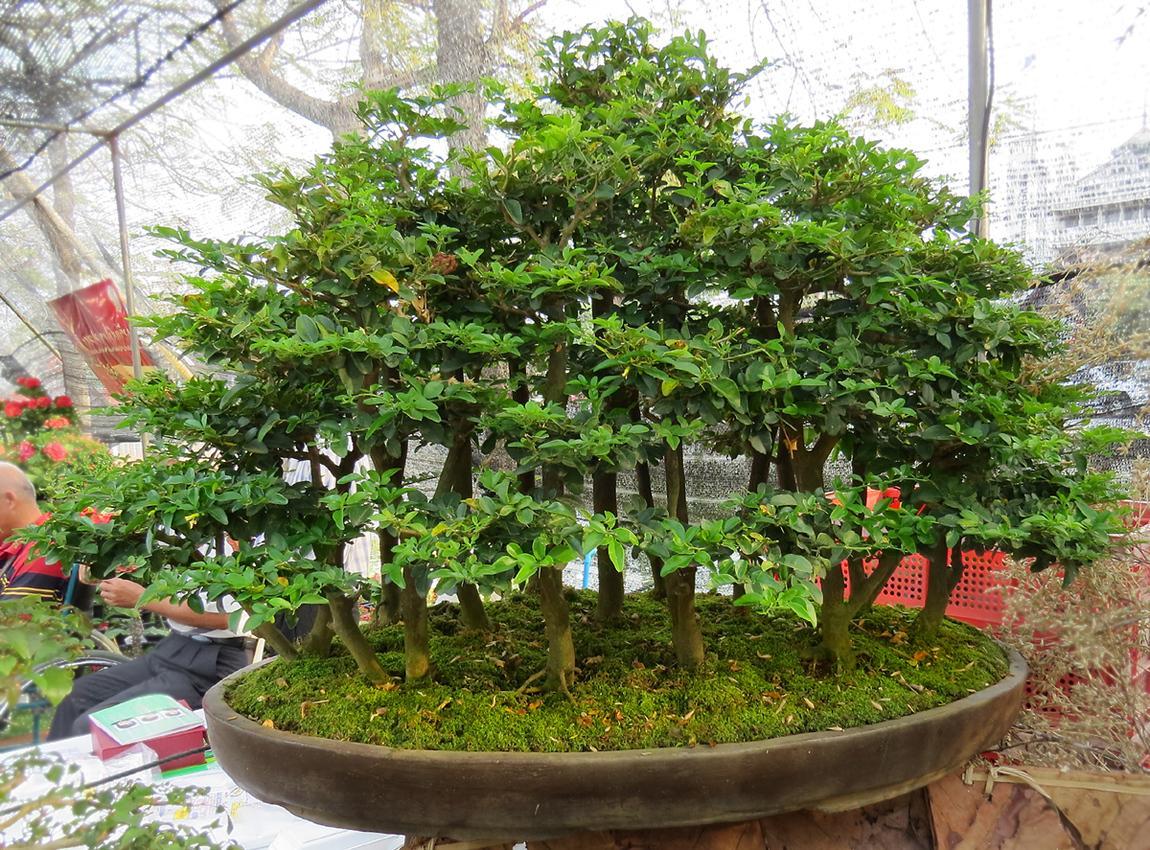 chiang-mai-bonsai-3-small.