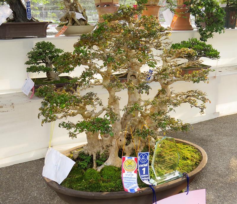 chiang-mai-bonsai-4-small.