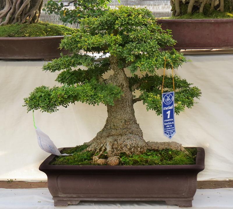 chiang-mai-bonsai-5-small.