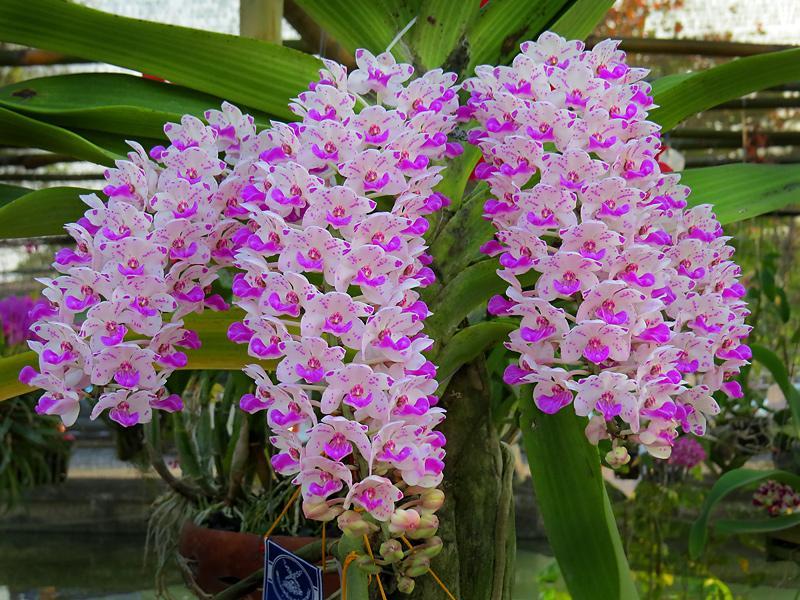 chiang-mai-flower-festival-56-small.