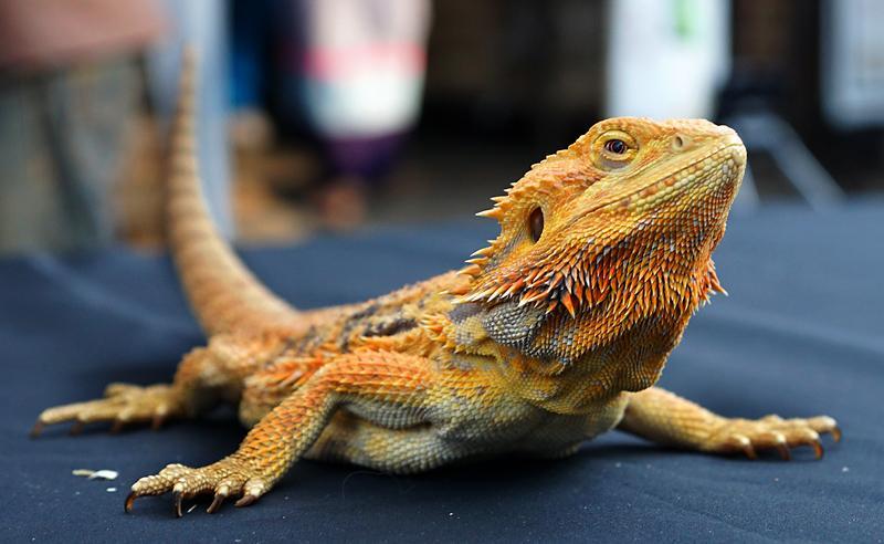 chiang-mai-lizard-small.