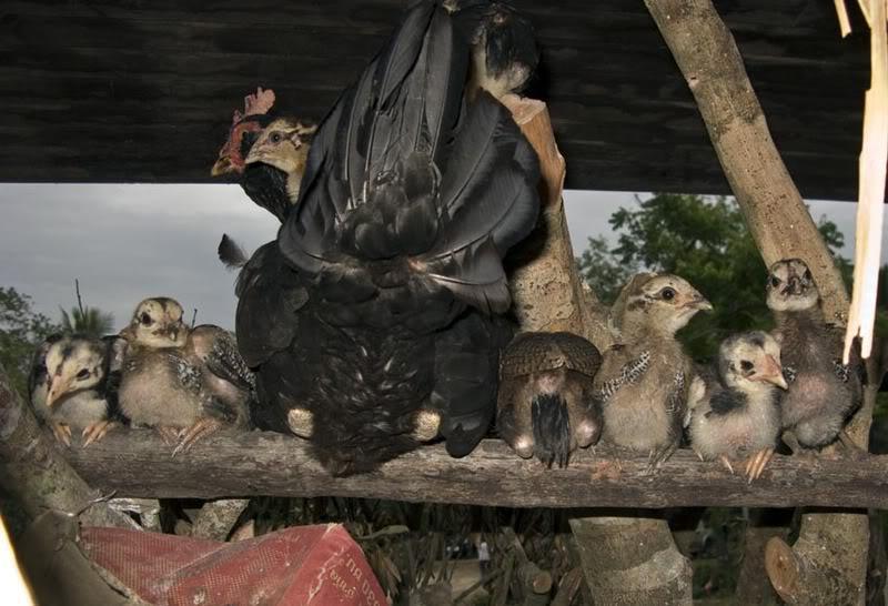 ChickensLR.jpg