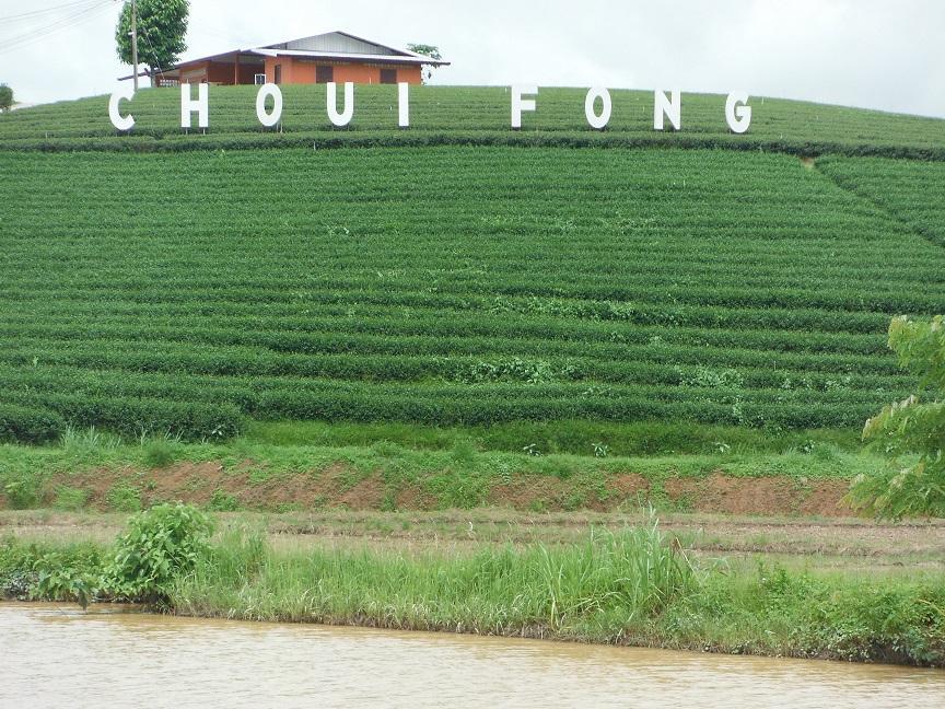 Choui Fong Tea Plantation Chiang Rai (3).JPG