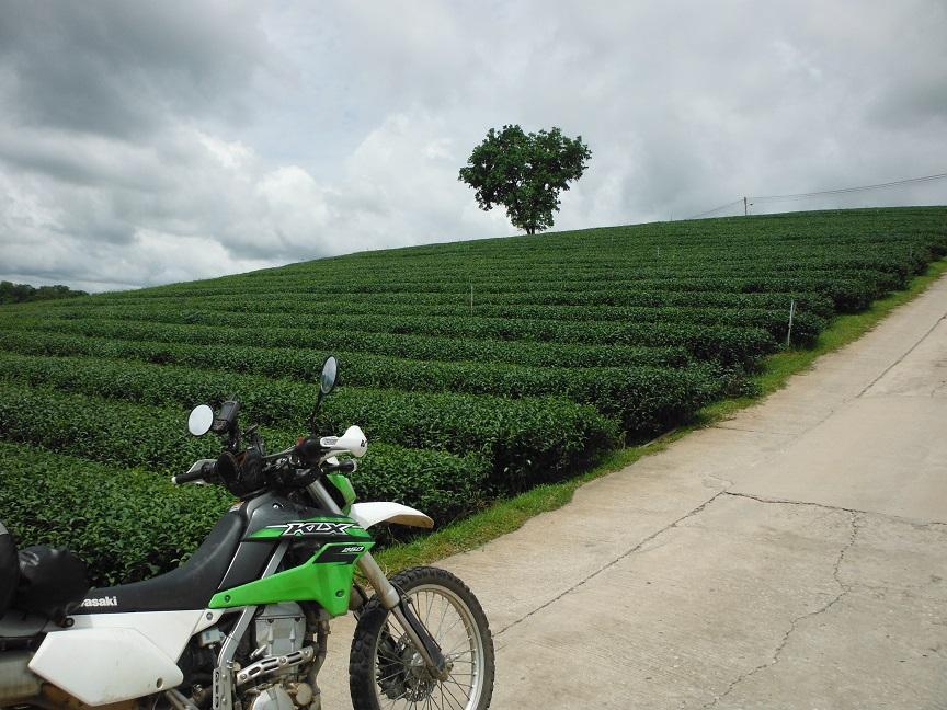 Choui Fong Tea Plantation Chiang Rai (5).JPG