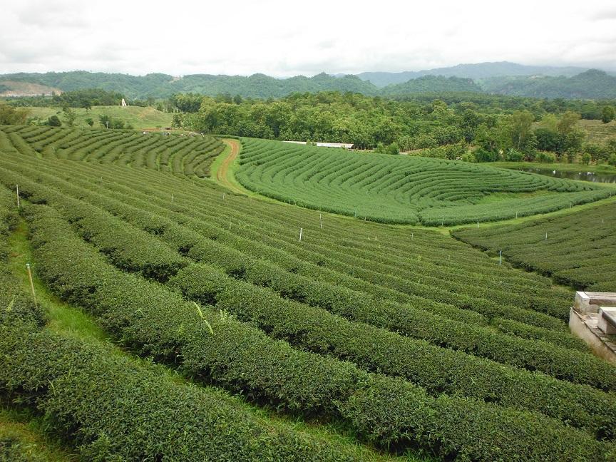 Choui Fong Tea Plantation Chiang Rai (7).JPG