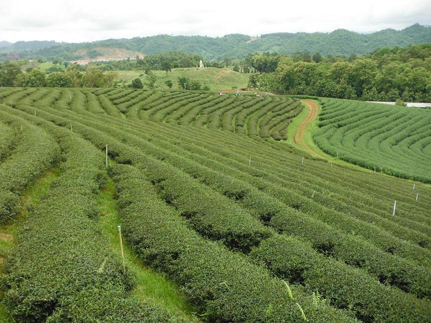 Choui Fong Tea Plantation Chiang Rai (8).JPG