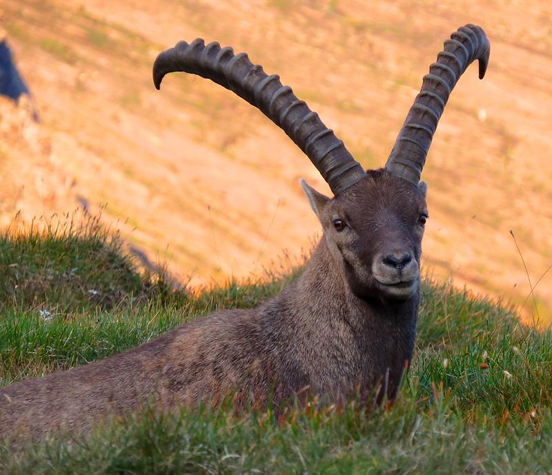 grossglockner-ibex-look.jpg