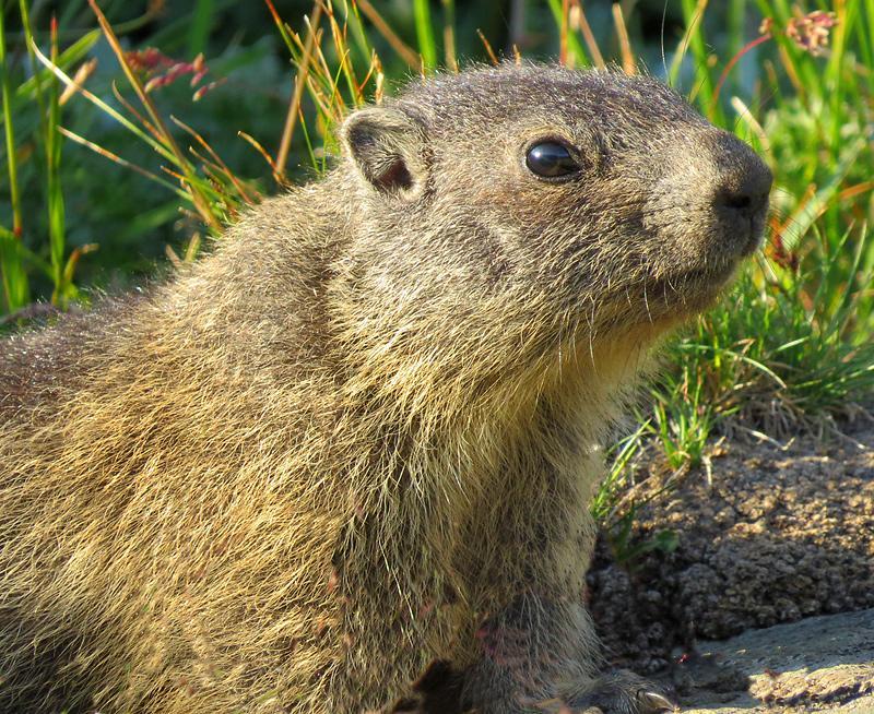 grossglockner-marmot.