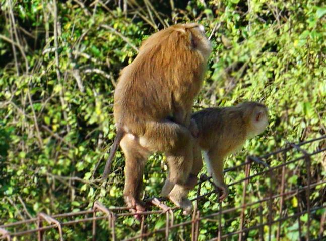 phuket-monkey-fuck-aa.