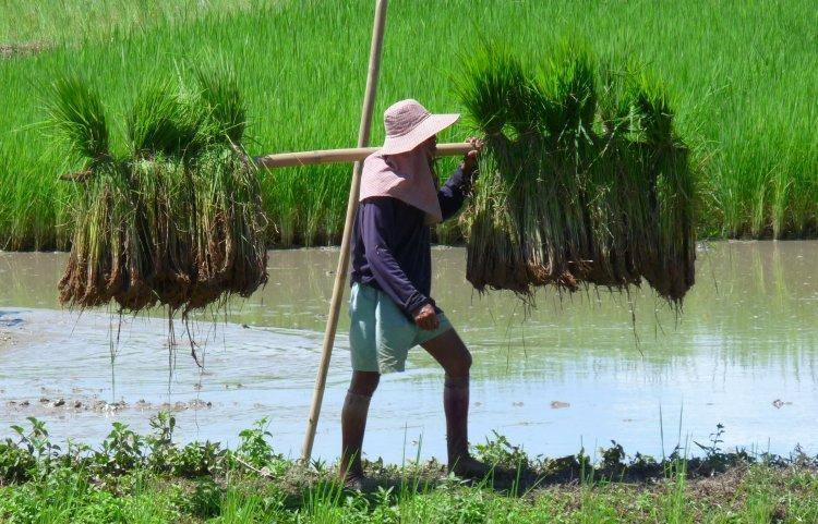 rice-paddies-2.